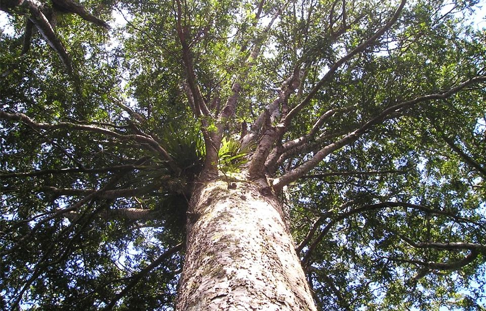 Cutting down kauri trees counterintuitive to climate change concerns
