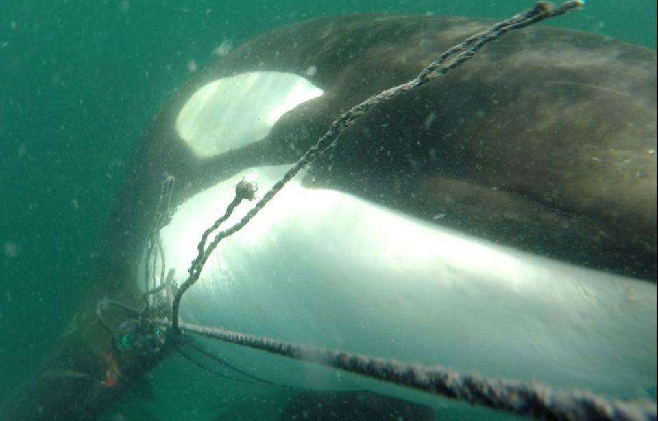 First sighting of entangled orca since Christmas