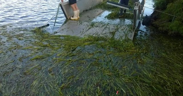 Tonnes of rotting weeds hauled from lake