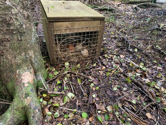 Keen rat-trappers overwhelm pest-control scheme
